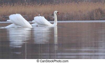 nager, printemps, deux, lac, blanc, cygnes