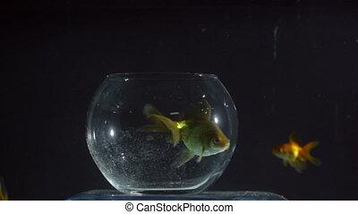 natation, dehors, poisson rouge