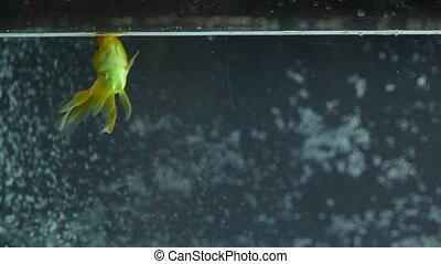 natation, eating., panorama, poisson rouge