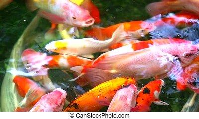 natation, eau, manger, étang, koi pêchent, carpe, trouver, ou, surface