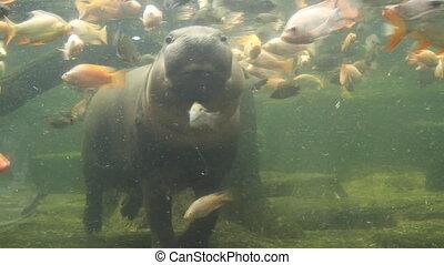 natation, hippopotame pygmée