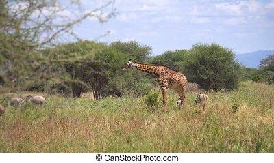national, safari, africaine, marche, savane, girafe, tanzanie, parc