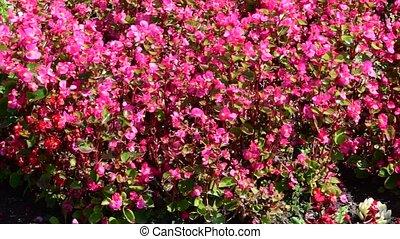 naturel, outdoor., minuscule, arrière-plan., rouges, fleurir, blanc, résumé, fleurs