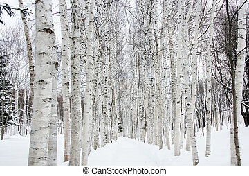 neige, arbres, bouleau