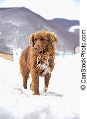 neige, chien