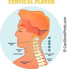 nerf, cervical, cou, diagramme, plexus, croix, illustration, anatomique, vecteur, plan, section.
