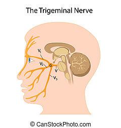 nerf, trigeminal