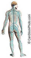 nerveux, diagram., système, humain