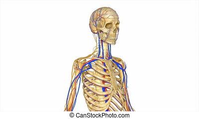 nerveux, squelette, système
