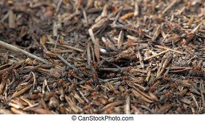 nest., printemps, fourmilière, fourmis, bois, en mouvement, rouges