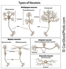 neurons, types