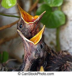 nid, -, jeune, oiseaux, eurasien, merle, oiseau