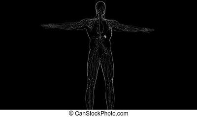 noeuds, humain, monde médical, lymphe, concept, anatomie, 3d