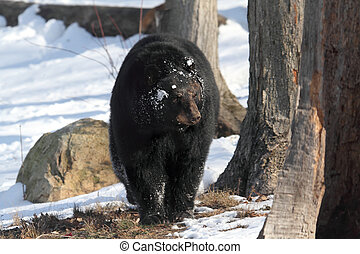 noir, americanus), ours, (ursus