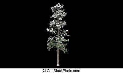 noir, arbre, neige, conifère, fond, grand, couvert