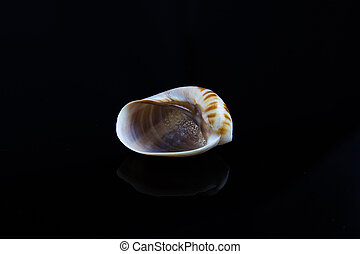 noir, arrière-plan., coquille mer