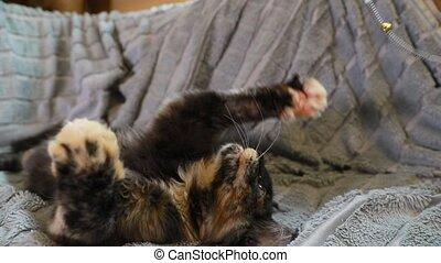 noir, chouchou, animaux familiers, surprenant, maine, rouges, maison, sofa., nègre, chat, jouet, jouer, jeune, chaton, chat, home., shag, plume