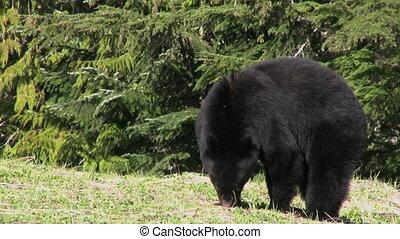 noir, herbe, manger, ours