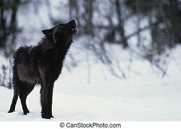 noir, loup, hurlement