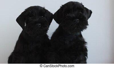 noir, miniature, deux, schnauzer