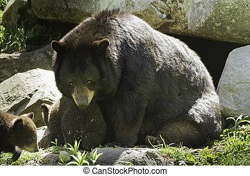noir, petits, ours