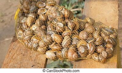 nombre, lot, cuisine, avant, utile, filet, sain, vente, escargot, cosmetology., ou, protéine, escargots, grand, propre, délicatesse, ferme fraîche, spécial, mucus