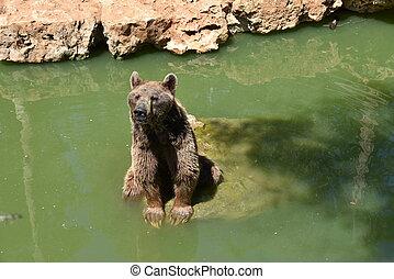 nous, devant, stands, gris, vue, ours brun, pierre, attentively., regarde