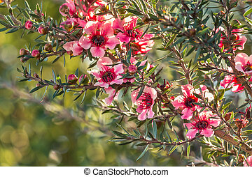 nouveau, arbre, fleur, zélande, manuka, fond, fleurs roses, brouillé