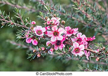 nouveau, fond, zélande, fleur, brouillé, rose, thé, fleurs, arbre