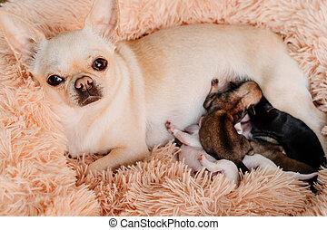 nouveau né, milk., purebred, poitrine, élevage, manger, chihuahua, chiots, dogs.