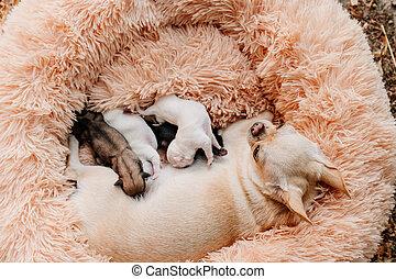 nouveau né, milk., purebred, poitrine, élevage, manger, vue, chihuahua, chiots, top., dogs.