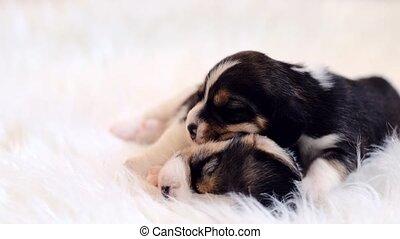 nouveaux-nés, beagle, paire