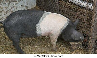 nutrition nourriture, écologique, cochon