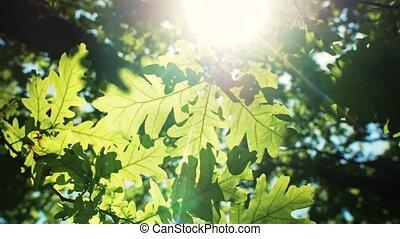 oak-tree, branches, vert