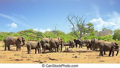 occupé, éléphants, scénique, troupeau, waterhole, vue