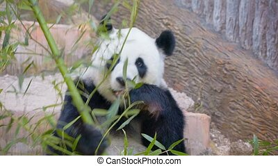 occupé, manger, -, ours, adulte, bambou, panda