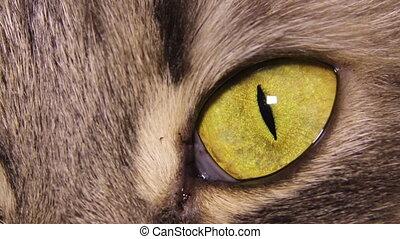 oeil, chat