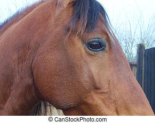 oeil, cheval