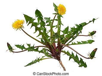 officinale), médicinal, (taraxacum, plant:, pissenlit