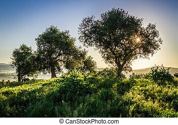olive, été, levers de soleil, arbres