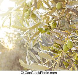 olive, branch., arbre
