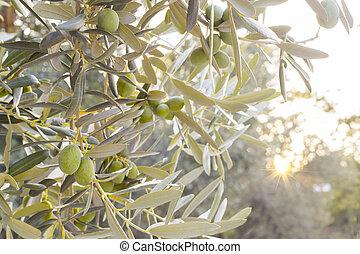 olive, brunch, arbre