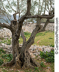 olive, intéressant, croatie, arbre, racines
