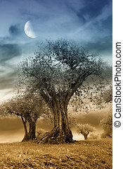 olive, séculier, arbre, soir