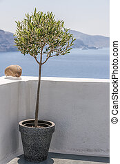 olive, santorini, arbre