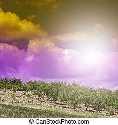 olive, sicile, levers de soleil, arbres