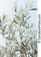 olives, vert, feuilles, arbre, contre, closeup, branche, olive, vert