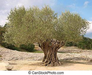 olivier, ancien