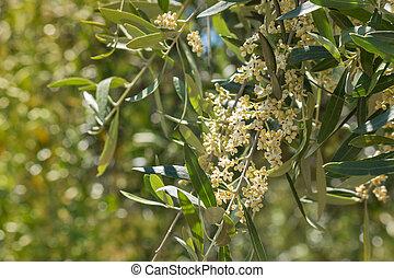 olivier, fleurs, fleur, branche