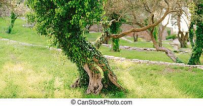 olivier, montenegro., bosquet, lierre, envahi